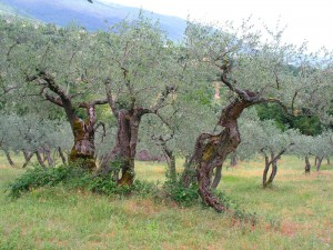 "Olive trees of Umbria, ""Italy's green heart"" (Photo thanks to Janet Eidem)"