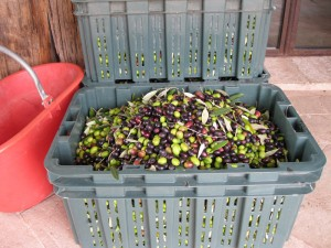 Our olives ready for the mill