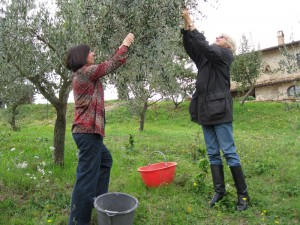 Friends help us pick our olives