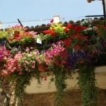 Spello flowering balcony of geraniums, petunias