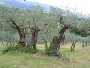 Ancient olive trees in Spello (photo by J. Eidem)
