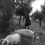 Scything alfalfa for our pigs, 1976
